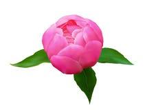 Kwiat peonie dla walentynki ` s dnia i eighth Marzec Obrazy Royalty Free