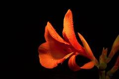 kwiat perły? Obraz Stock