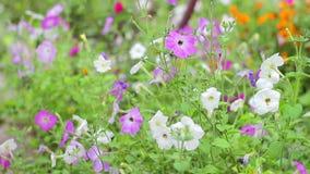 Kwiat petuni biel i purpury zbiory