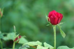 kwiat piękna czerwień wzrastał obrazy royalty free
