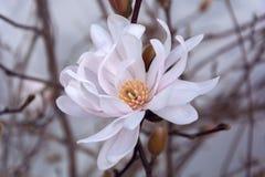 kwiat piękna magnolia piękna wiosna kwiat fotografia stock