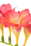 kwiat piękna frezja Zdjęcie Royalty Free