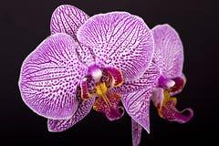kwiat piękna orchidea Zdjęcie Royalty Free