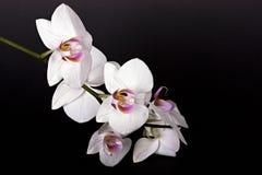 kwiat piękna orchidea Obraz Stock