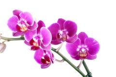 kwiat piękna orchidea Zdjęcia Royalty Free
