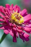 kwiat piękne menchie Obrazy Royalty Free