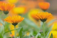 Kwiat piękny calendula Zdjęcia Royalty Free