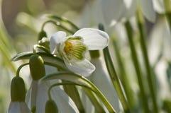 kwiat pierwszy wiosna Fotografia Royalty Free