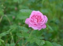 Kwiat pies wzrastał Fotografia Stock
