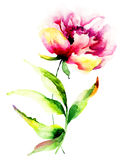 kwiat piękna peonia Obraz Royalty Free