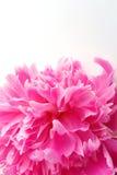 kwiat piwonii Obrazy Royalty Free