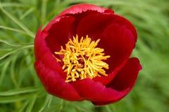 kwiat piwonii zdjęcia royalty free