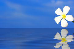 kwiat plumeria albumu zdjęcia stock