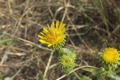 Kwiat pluskwa Zdjęcia Stock