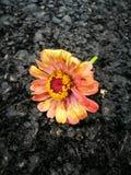 Kwiat podczas dla więdnący po deszczu Zdjęcia Stock