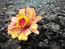 Kwiat podczas dla więdnący po deszczu Fotografia Royalty Free