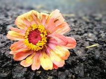 Kwiat podczas dla więdnący po deszczu Zdjęcia Royalty Free