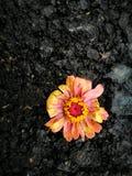 Kwiat podczas dla więdnący po deszczu Obraz Stock