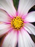 Kwiat podczas dla więdnący po deszczu Obraz Royalty Free