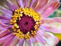 Kwiat podczas dla więdnący po deszczu Zdjęcie Royalty Free