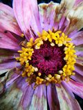 Kwiat podczas więdnący po deszczu Obrazy Stock