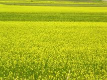 kwiat pola żółty Fotografia Royalty Free