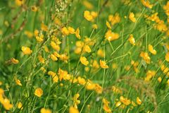 kwiat pola lato Fotografia Stock