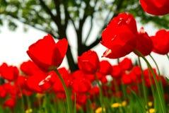 kwiat pola tulipan Obrazy Stock