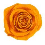Kwiat pomarańcze róża odizolowywająca na białym tle Zakończenie bell świątecznej element projektu Obraz Royalty Free