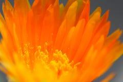kwiat pomarańczy Obrazy Stock