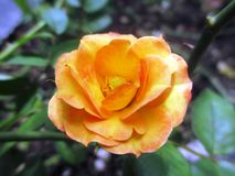 kwiat pomarańczy róża Obrazy Royalty Free