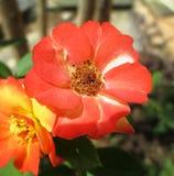 kwiat pomarańczy róża Fotografia Royalty Free