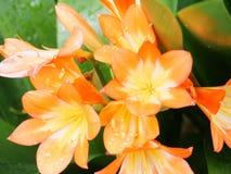 Kwiat pomarańcze Obraz Stock