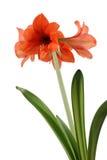 kwiat pomarańcze Obrazy Royalty Free