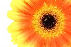 kwiat pomarańczy gerbera Obraz Stock