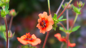 Kwiat, Potentilla nepalensis Zdjęcia Royalty Free