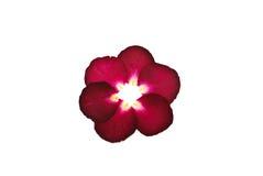 kwiat prasa wzrastał Obraz Royalty Free