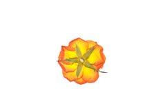 kwiat prasa wzrastał Obrazy Stock