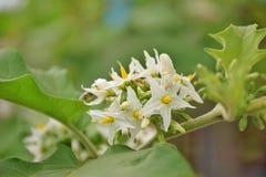 Kwiat przed r do Indyczej jagody zdjęcia stock