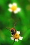 kwiat pszczoły fotografia stock