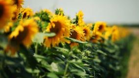 kwiat pszczoły pola centralnego lata późnego słońca słonecznika jasny kolor żółty zbiory wideo