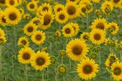 kwiat pszczoły pola centralnego lata późnego słońca słonecznika jasny kolor żółty Obrazy Stock