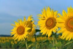 kwiat pszczoły pola centralnego lata późnego słońca słonecznika jasny kolor żółty Obraz Stock
