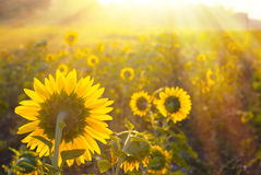 kwiat pszczoły pola centralnego lata późnego słońca słonecznika jasny kolor żółty Zdjęcia Stock