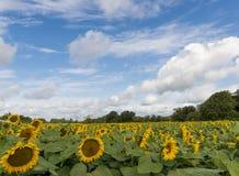kwiat pszczoły pola centralnego lata późnego słońca słonecznika jasny kolor żółty Obraz Royalty Free