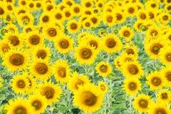 kwiat pszczoły pola centralnego lata późnego słońca słonecznika jasny kolor żółty Zdjęcie Royalty Free