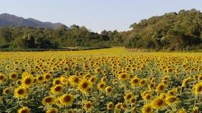 kwiat pszczoły pola centralnego lata późnego słońca słonecznika jasny kolor żółty Zdjęcia Royalty Free