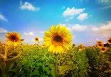 kwiat pszczoły pola centralnego lata późnego słońca słonecznika jasny kolor żółty Fotografia Royalty Free