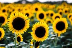 kwiat pszczoły pola centralnego lata późnego słońca słonecznika jasny kolor żółty Obrazy Royalty Free
