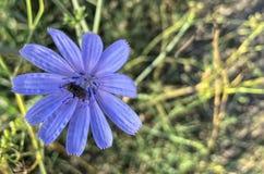 kwiat pszczoły samopylnego obraz stock